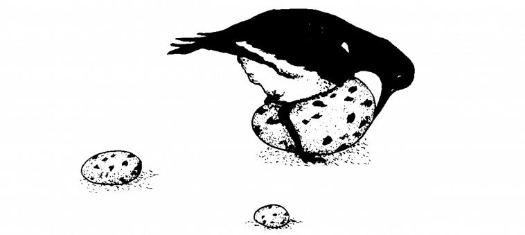 süpernormal uyarıcı oystercatcher